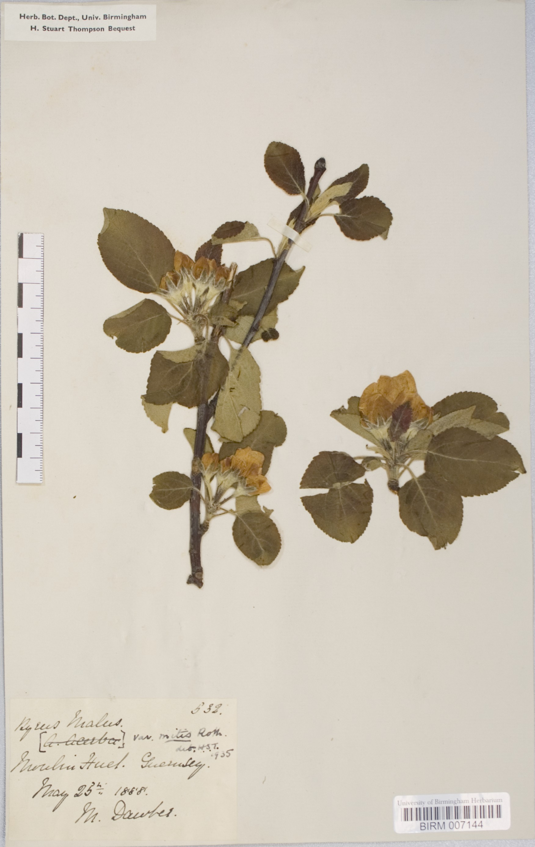 Malus domestica  herbarium specimen, collected in the Channel Islands, 1888. (3)