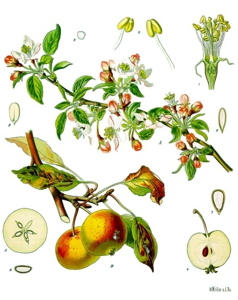 Blossoms, fruits, and leaves of the apple tree ( Malus pumila )  Franz Eugen Köhler,  Köhler's medicinal plants   Apple tree. A flowering and fruiting branch in B of course. Size, 1 bloom without crown in longitudinal section enlarged, 2 stamens, likewise, 3 pollen, ditto, 4 fruit in longitudinal section, likewise, 5 the same cross section same as above,, 6 and 7 seed with seed coat in longitudinal section, of different sides of ditto,, 8, the same cross section, likewise, 9 the same without seed coat, ditto