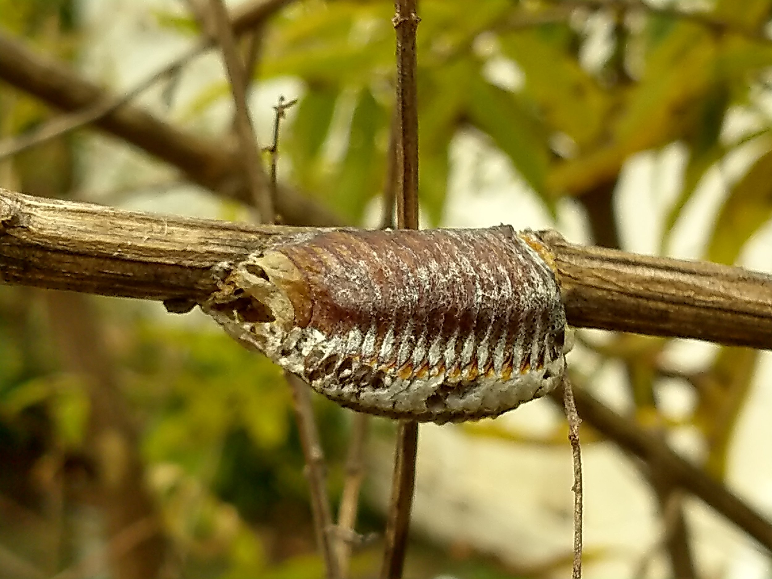 The Praying Mantis Egg Case And The Shrubbery The Amazing Plant