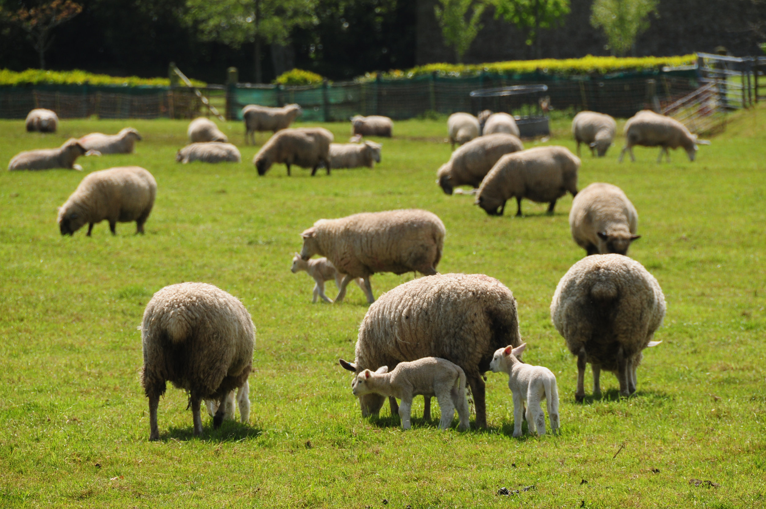 Lambing Alert - Lambing is a time of high flock attention especially when lambing outdoors. To ensure the upmost survival of lambs and to lower mortality rates, fast action is required once the birth has occurred. Ewetrack Lambing alert is built with the user over time and will alert the user of lambing and any difficulties that may occur.(R&D)
