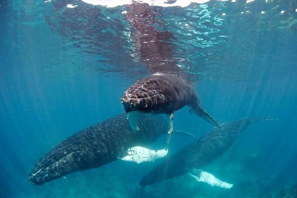 humpback-whale-group.jpg