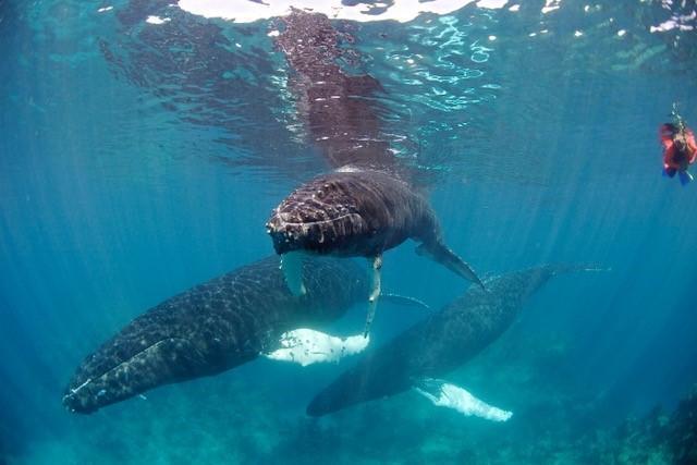 Humpback_Whales.jpg