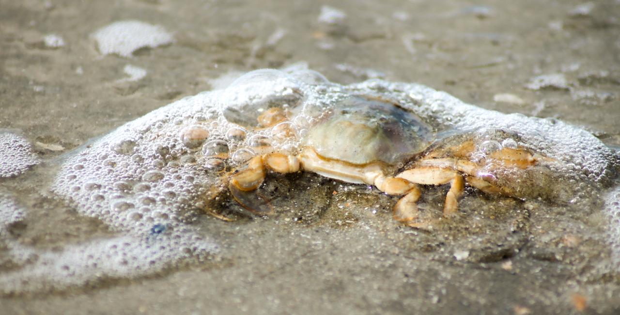 Tiere Wattenmeer Krebs