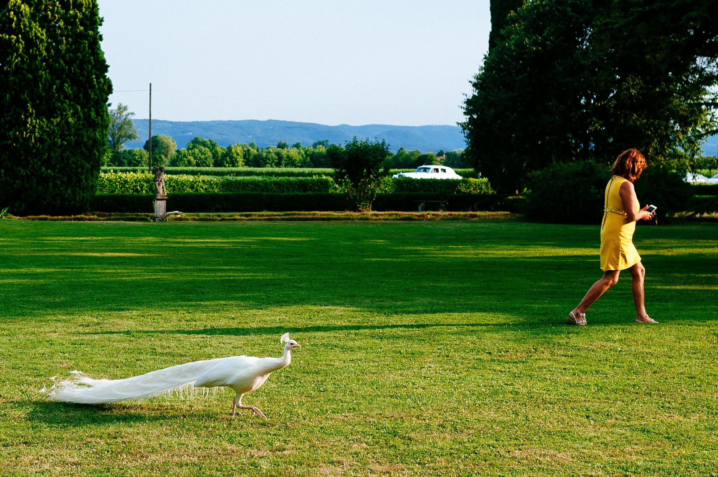 white-peacock-wedding-italy.jpg