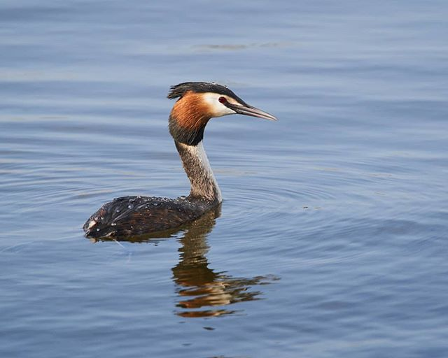 Shot this to test a setup. We'll done @sigmauk for a cracking job. 840mm worth of telephoto zoom, teleconverter and mount adaptor! #wildlife #birds #grebe #photography