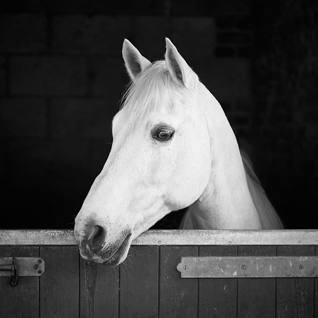 #dressagedaughter The quite, quite lovely Orion. @tallulah.m.dressage  is very lucky and proud to be the custodian of such a lovely lad. We are very grateful, @amyamyboaler x #equinephotographer #horse #ponyportrait #photography #horsesofinstagram