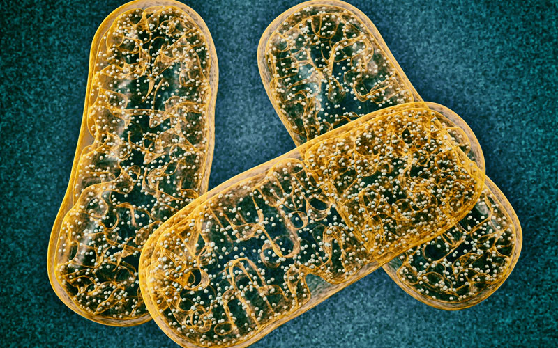 mitochondria_800x500.jpg