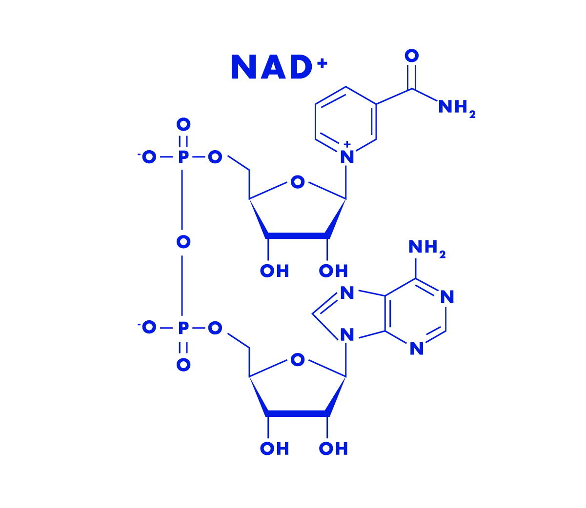 The Molecule NAD - The molecule NAD is constantly being consumed and created by cells and its levels have been shown to decline as we age. Its dwindling levels may be directly related to how we experience aging. Beyond declining with age, NAD is linked to healthy aging because of the vital role it plays in both energy production, and the optimal function of our cells' powerhouses (the mitochondria). More broadly, NAD supports a healthy cellular metabolism. The molecule NAD helps practically every process by which cells break down food and build up molecules like fats, DNA, and hormones.