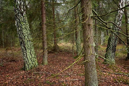 ©Torbjörn Hesselbring, Kulturskog
