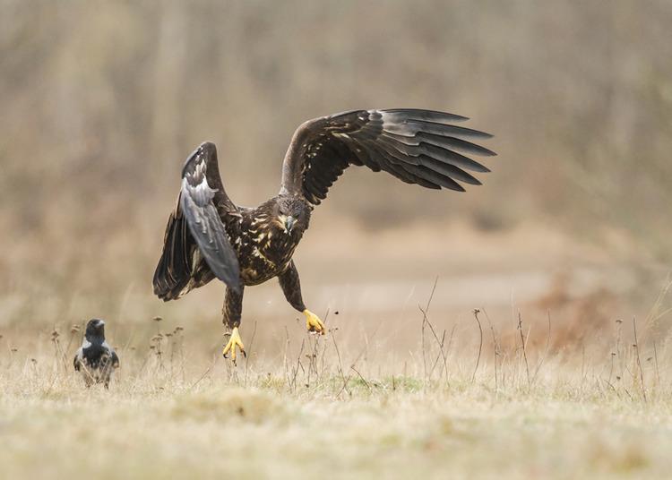 © Barbro Nelly, Havsörn och kråka