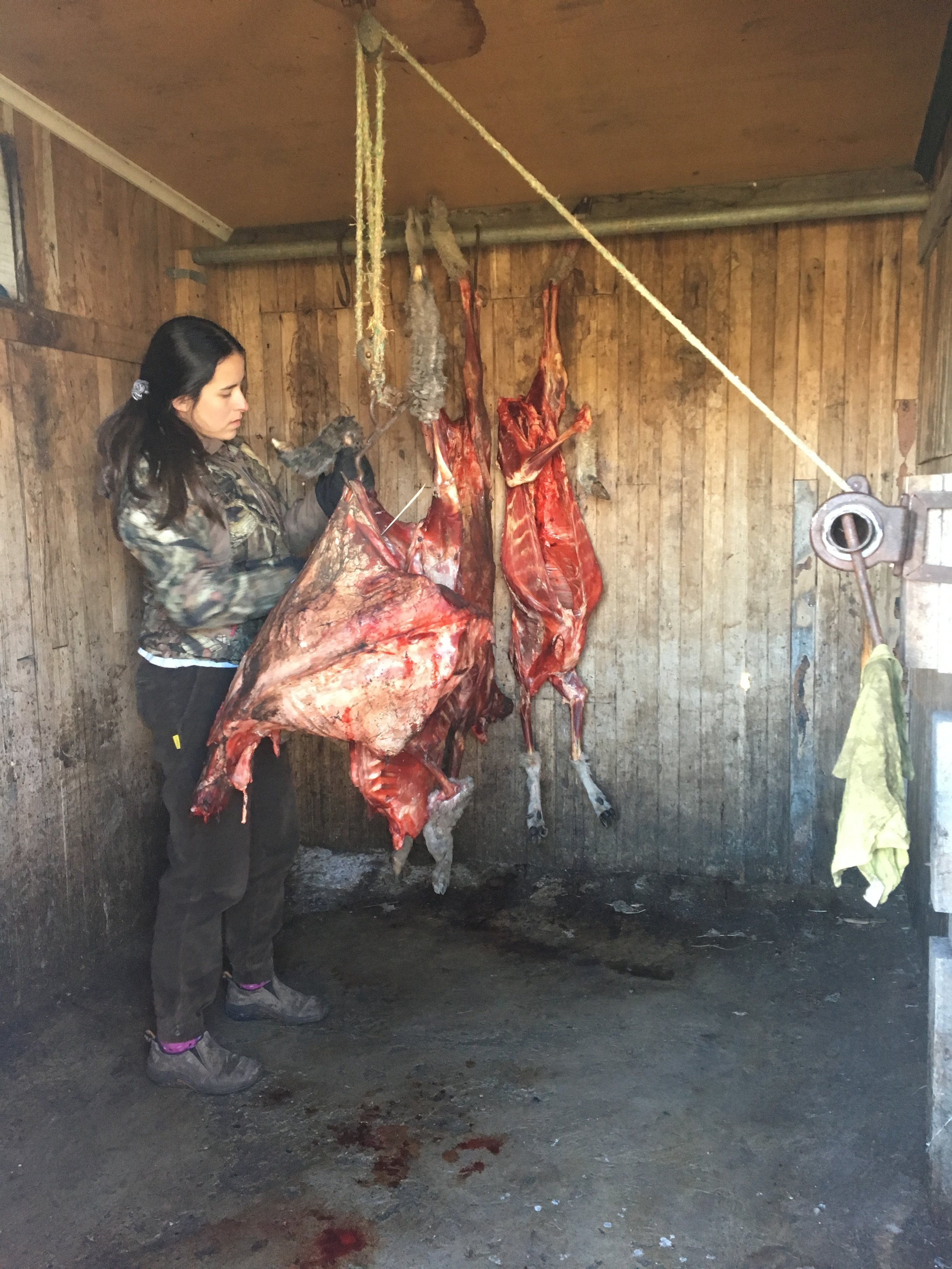 Ovejas --> carne para los perros