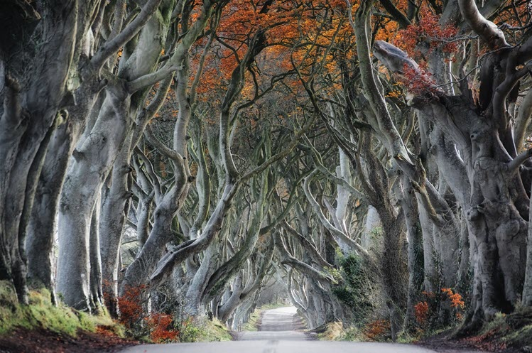 Dark Hedges, County Antrim, Northern Ireland. Photo by Trevor Cole.