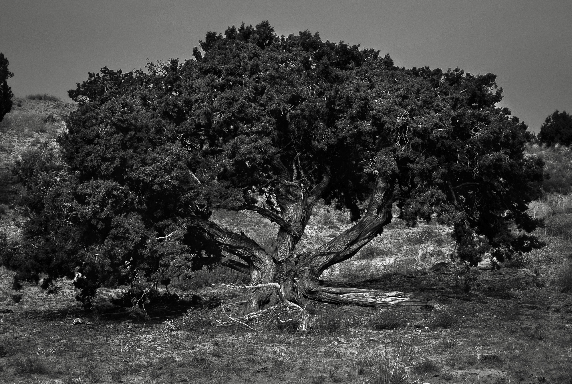 TREE NEAR HOLE IN ROCK RRL3.jpg