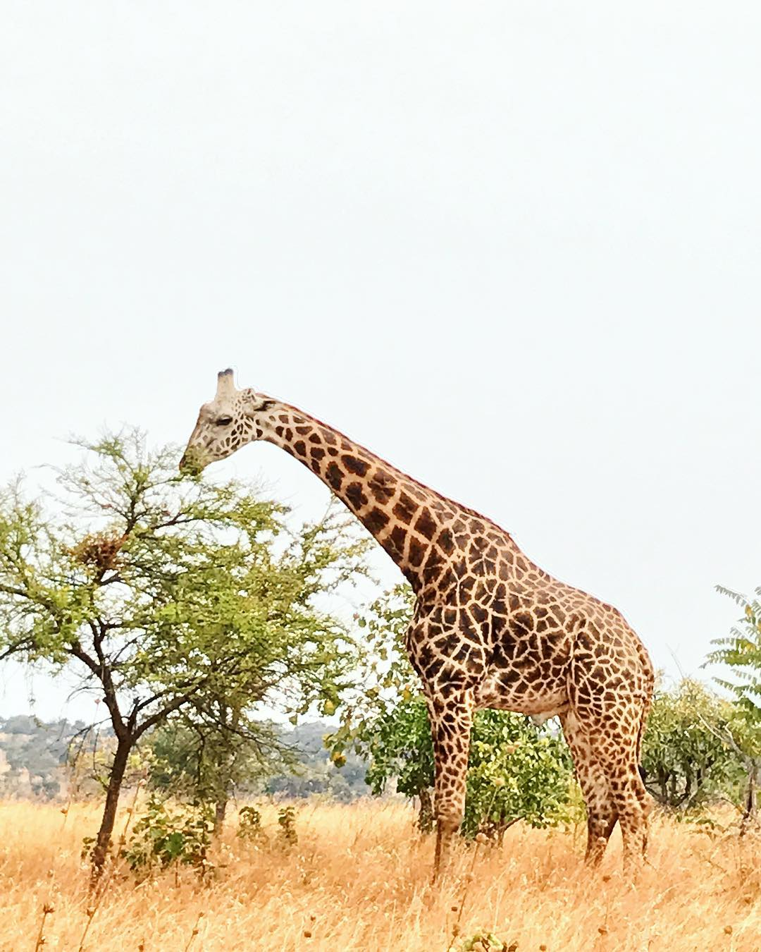 A closer snapshot of the giraffe at Akagera.