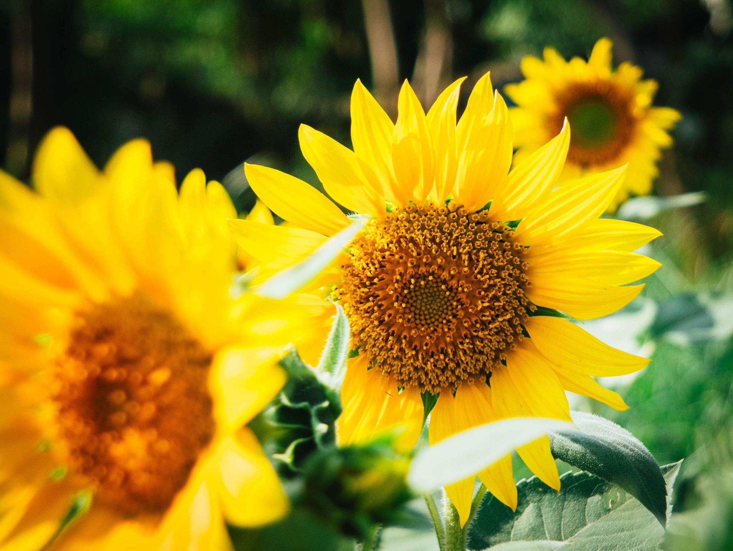 Sunflowers_papaver-rhoeas-63741-unsplash.jpg