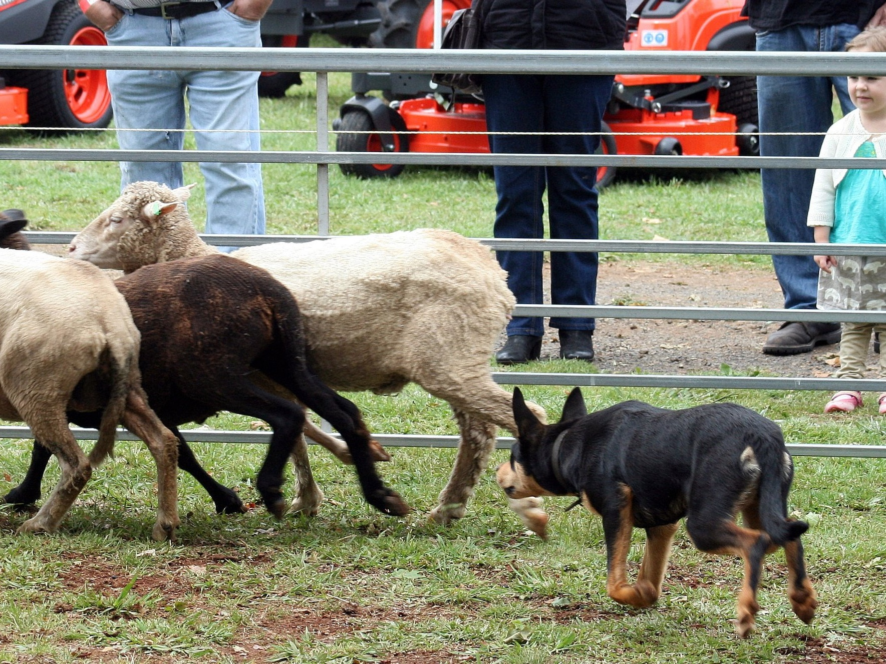 Dorrigo Show Bush Dog Trials.JPG