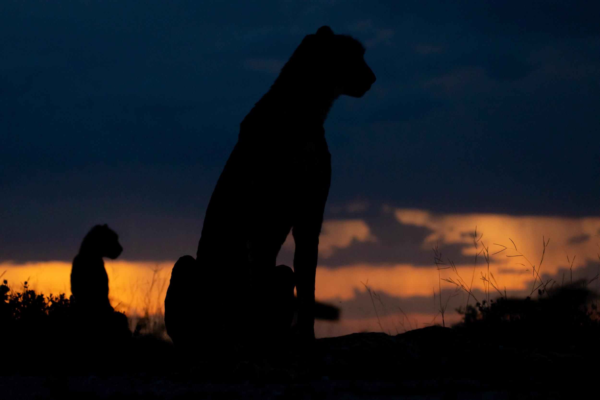 Cheetah silhouette.jpg