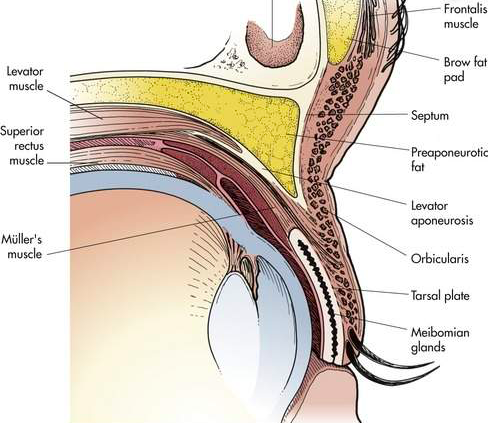 An illustrated cross section through the eye and upper eyelid. (From Plasticsurgerykey.com)