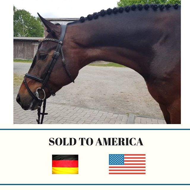Wishing this fabulous Hunter all the best in his new home. FLY SAFE and can't wait to see you succeed in America ! 🦄😎💪✈✈ #horseagency #horsesofjaxsonandberry #hunterforsale #huntersforsale #huntersforsaleeurope