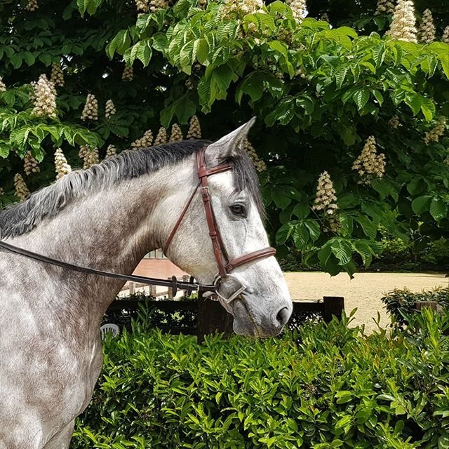 Dreaming of Hunterland ! Gorgeous 5yr old Gelding looking for new competitive home in USA🤩🤩🤩 PM for details!  #hunterforsale #hunterjumpers #horsesofjaxsonandberry #horsesforsaleeurope #unicornsareforever #scopefordays #huntersineurope  #hunters