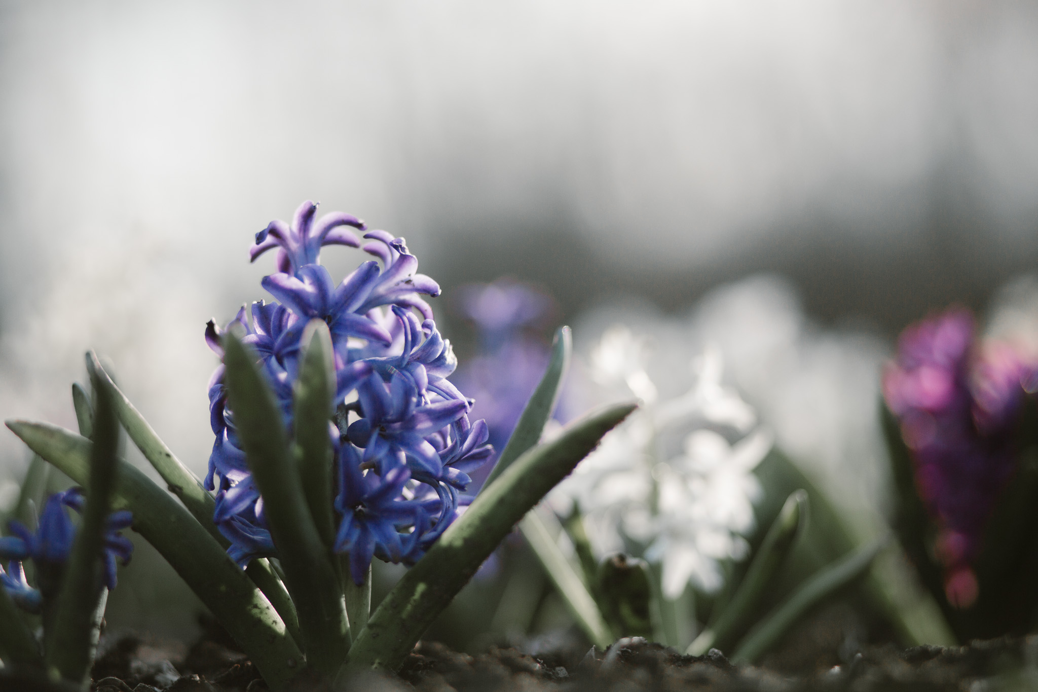 Blue, white, and purple flowers in a field of hyacinth at spring time