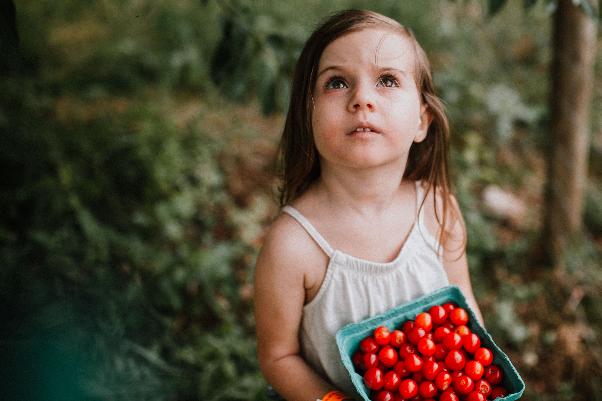 Girl holding a basket of cherries looks above her searching for more to pick at Great Country Farms in Bluemont, Virginia