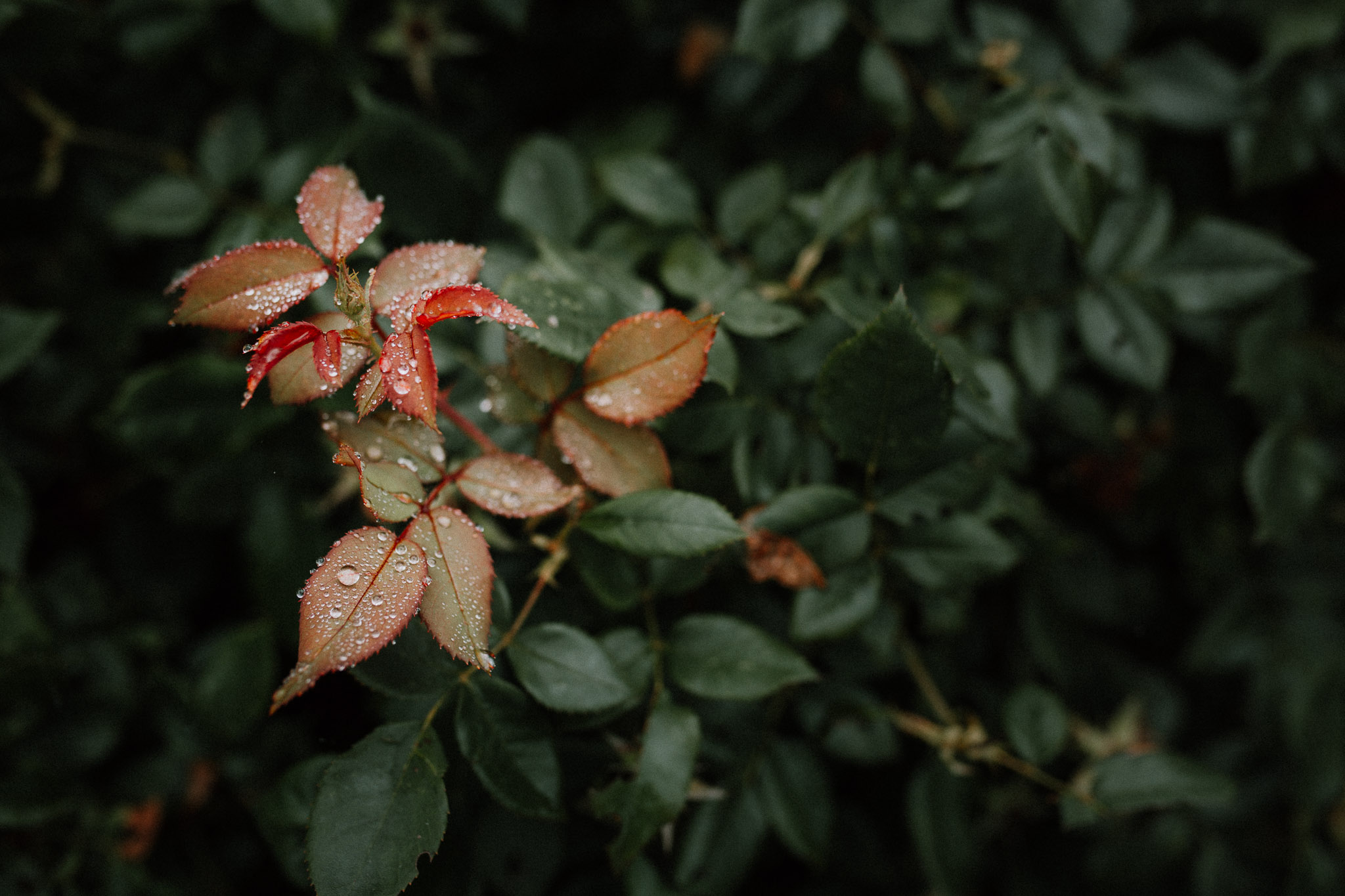 Red and orange leaves covered in dew drops against a background of green leaves