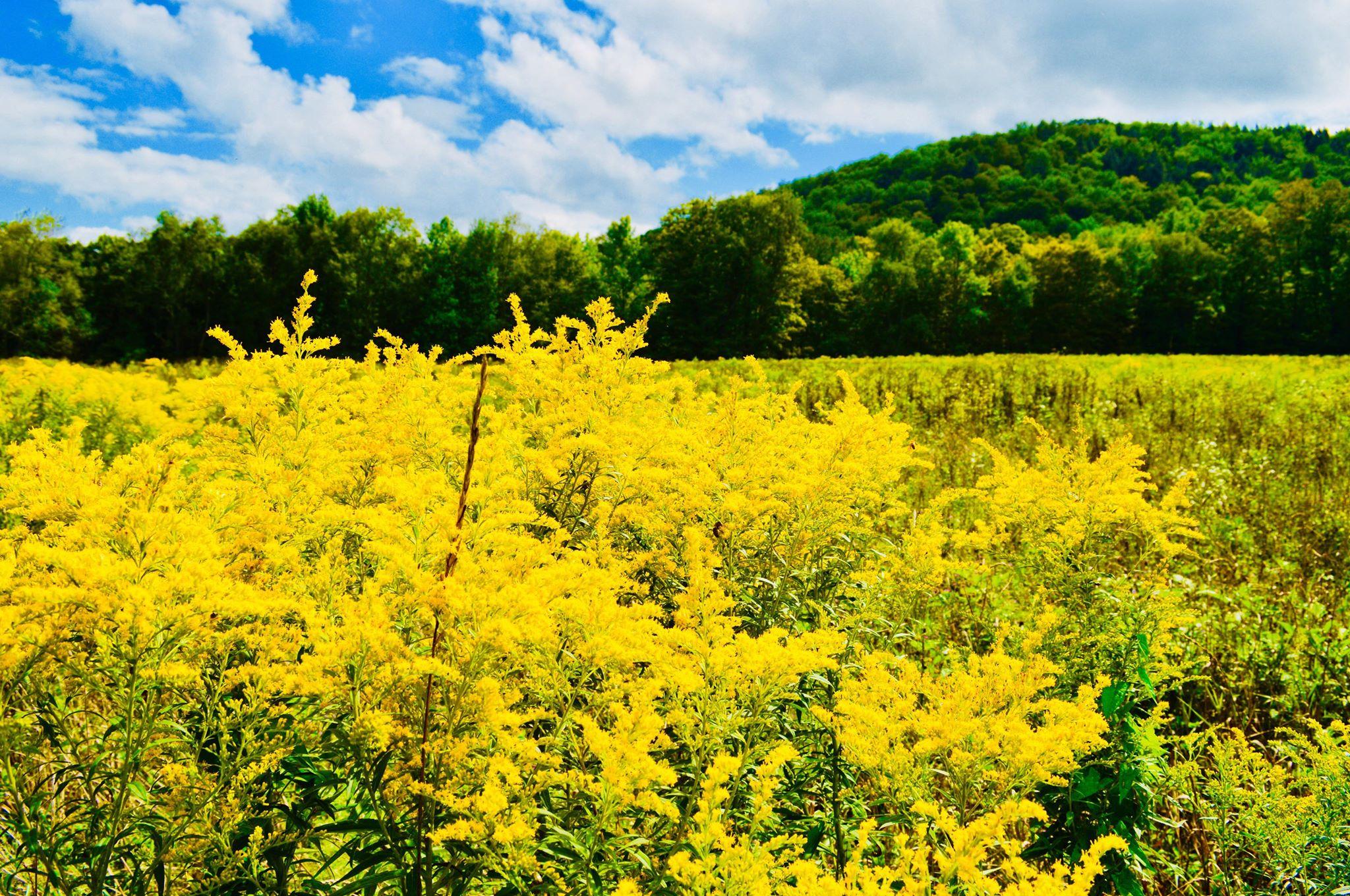 golden rod, summer, harvest, golden hour, seasonal eating, upstate new york, i love ny, summer harvest, modern homestead, autumn, seasonal living, plant based life, modern farmer
