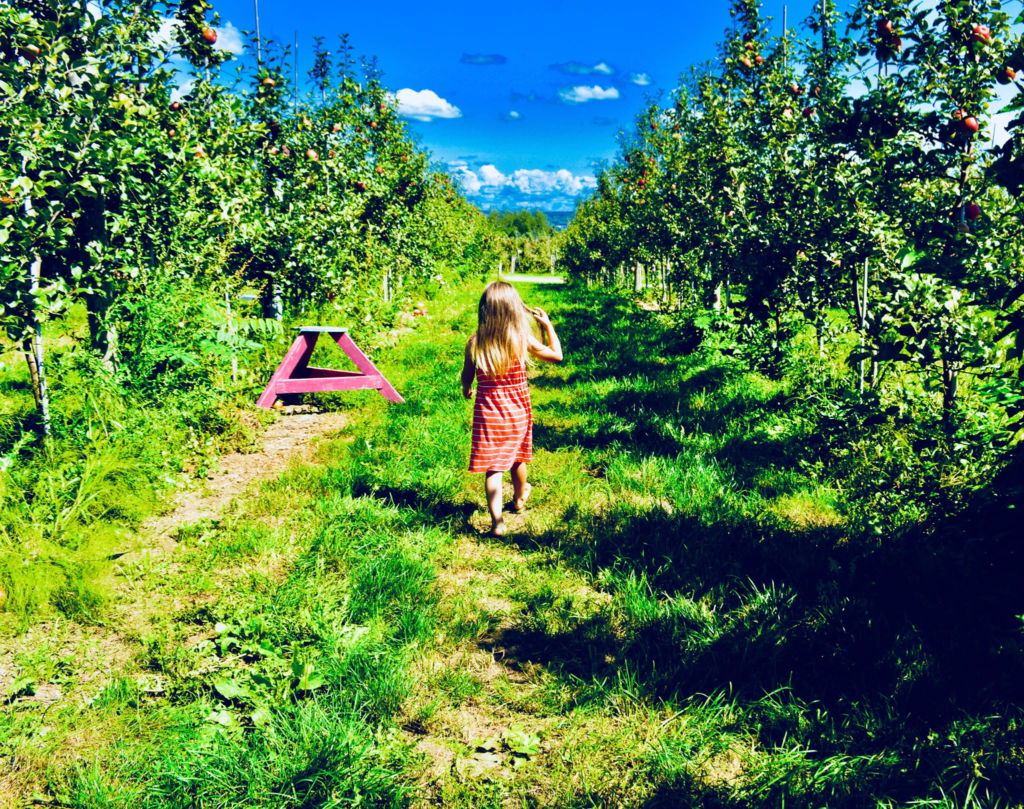 golden rod, summer, harvest, golden hour, seasonal eating, upstate new york, i love ny, summer harvest, modern homestead, autumn, seasonal living, plant based life, modern farmer, sunset, mabon, harvest moon, autumnal equinox, apple picking, orchards