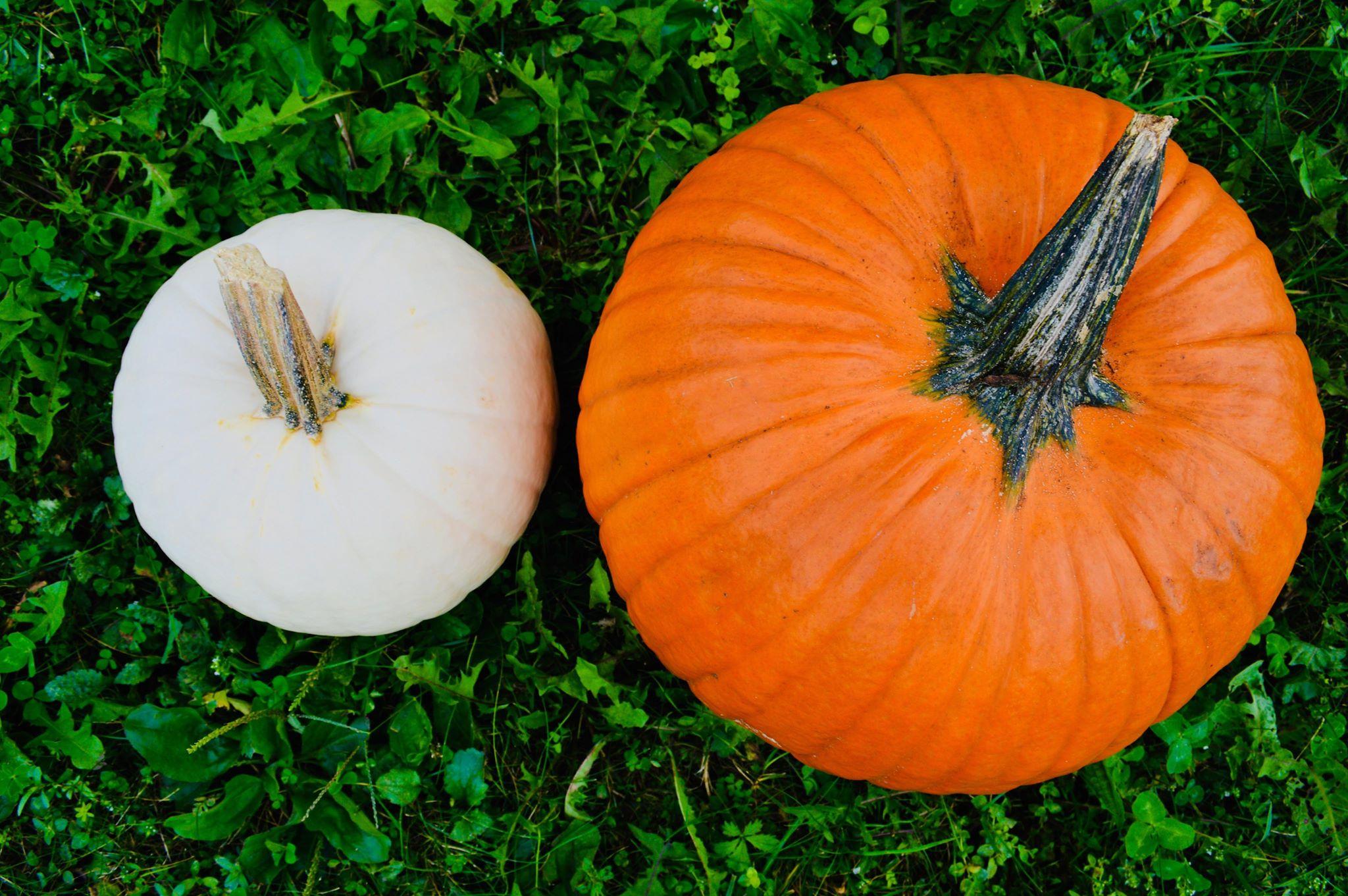 homemade pumpkin bread, kid baker, modern homesteader, organic life, spiced pumpkin bread, holiday dessert, seasonal eating, baking from scratch, baking pumpkins, pie pumpkins, homegrown pumpkins, pumpkin picking, pumpkin season, pumpkin spice