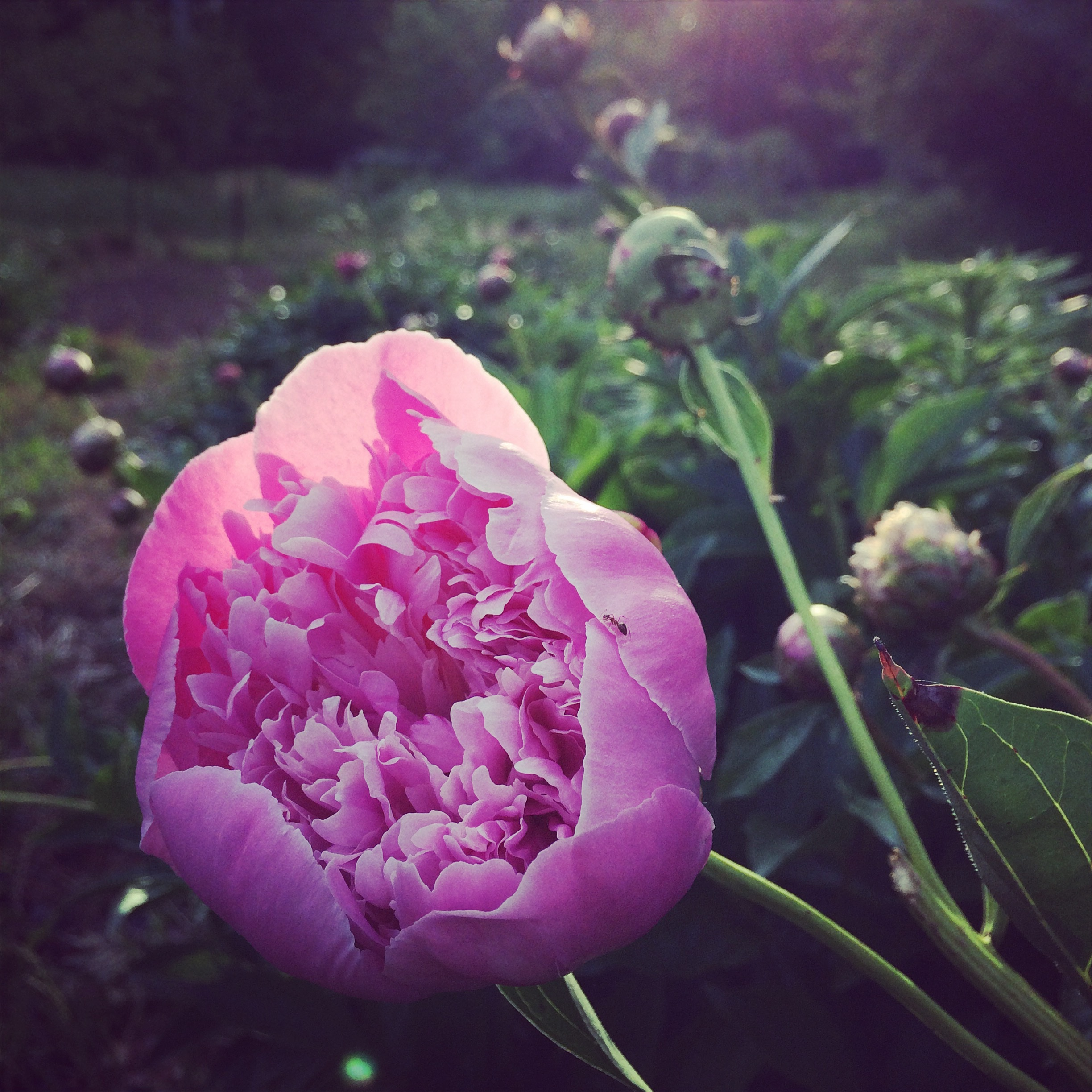 The Peonies are Here! - Let's have a parade! or at least make peony syrup