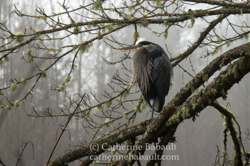 Heron on a branch, Oyster River