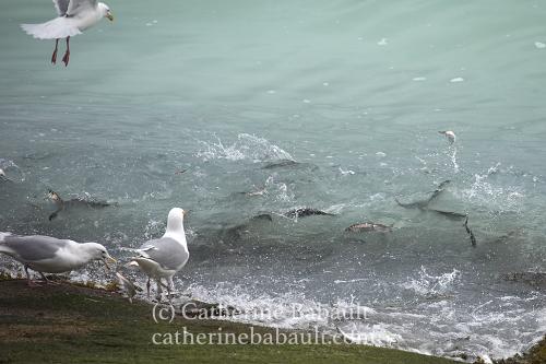Herring spawn, Denman Island