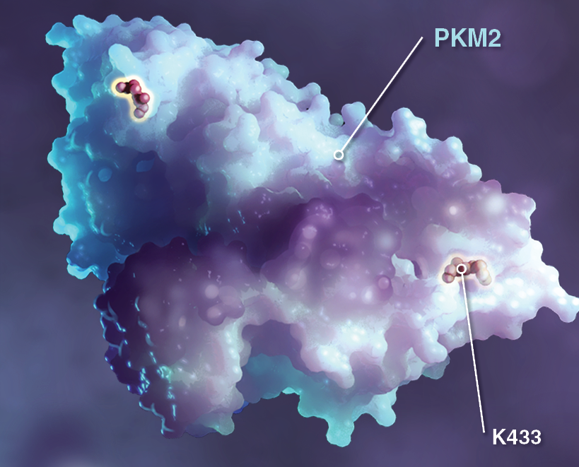 AcetylationPKM.png