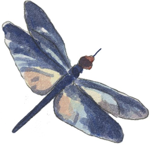 Crawdads-dragonfly-right-500.png