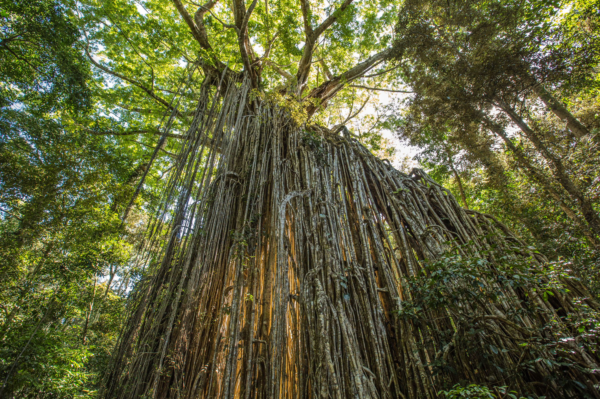 Curtain Fig Tree on the Atherton Tablelands.jpg