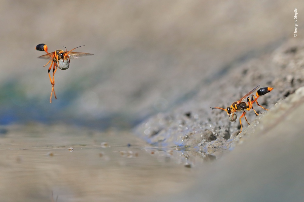 Mud-Rolling Mud-Dauber — © Georgina Steytler / Wildlife Photographer of the Year