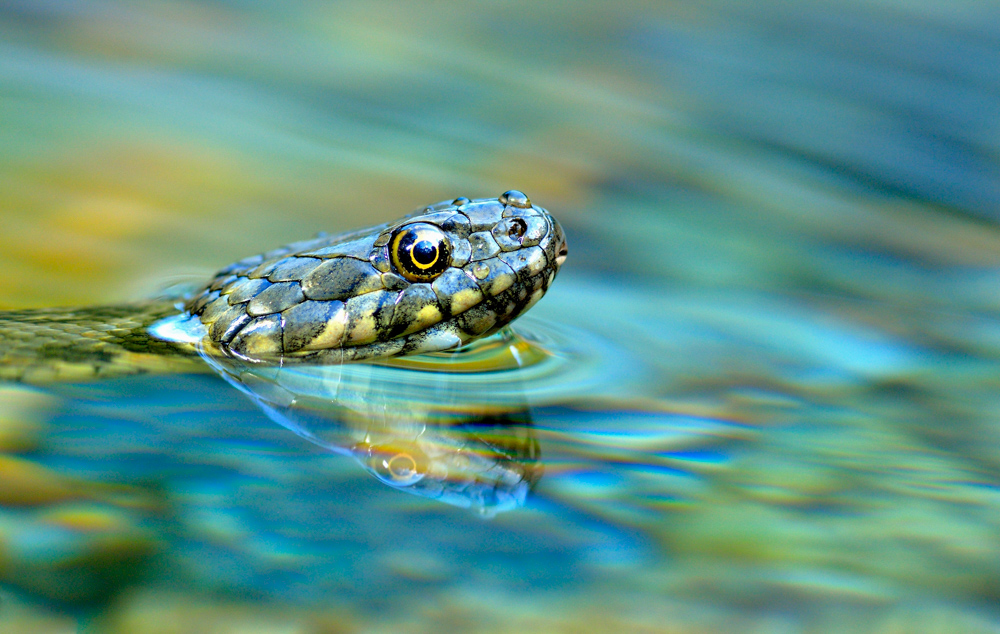 Vittorio Ricci  | Dice Snake