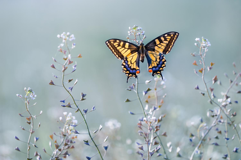 Petar Sabol  | Swallowtail Beauty