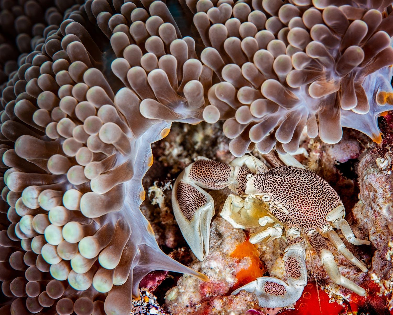 David Morgan  | Porcelain Crab