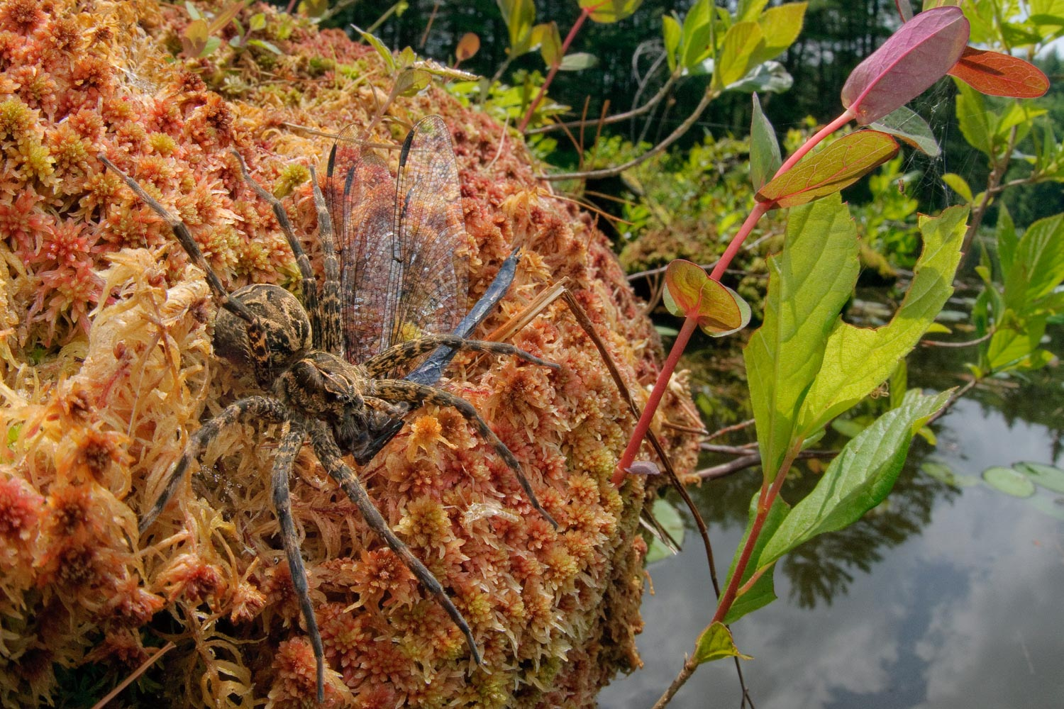 Ellen Woods  | Fishing Spider