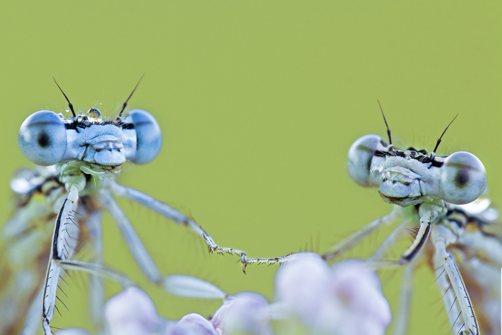 Michael Barbieri  | Damselflies in Love