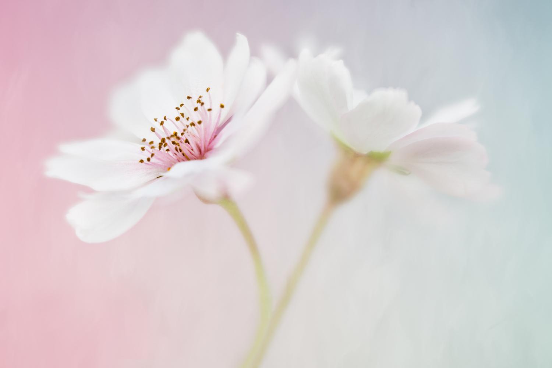 Sophia Spurgin  | Cherry Blossom