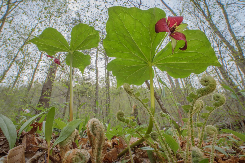 Ellen Woods  | Red Trilliums