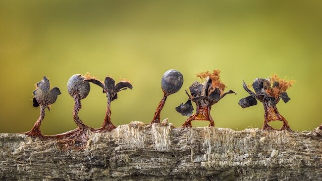 Barry Webb-Slime Moulds on Parade-CUPOTY02-650px.jpg