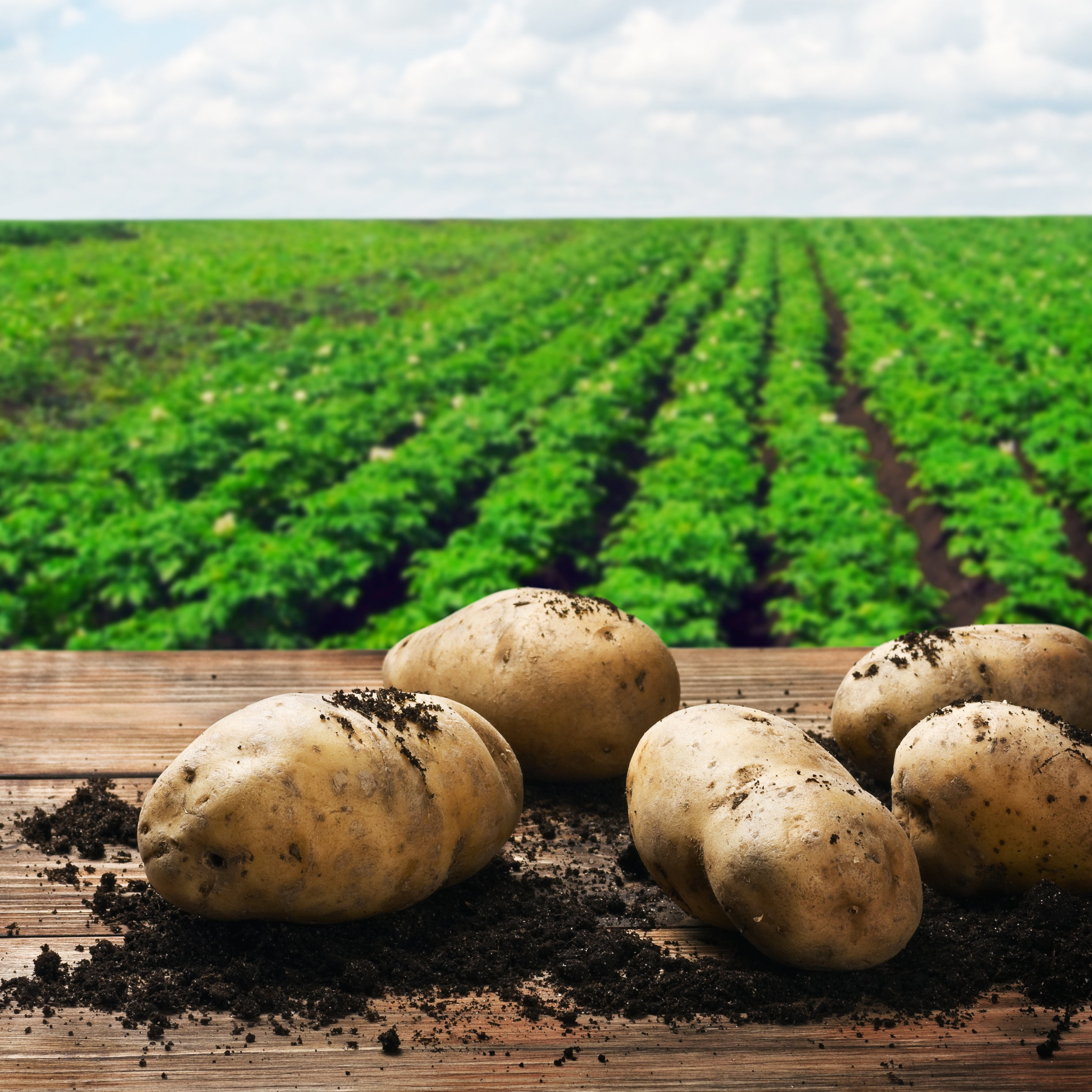 Aardappel Phytophthora Case Study -