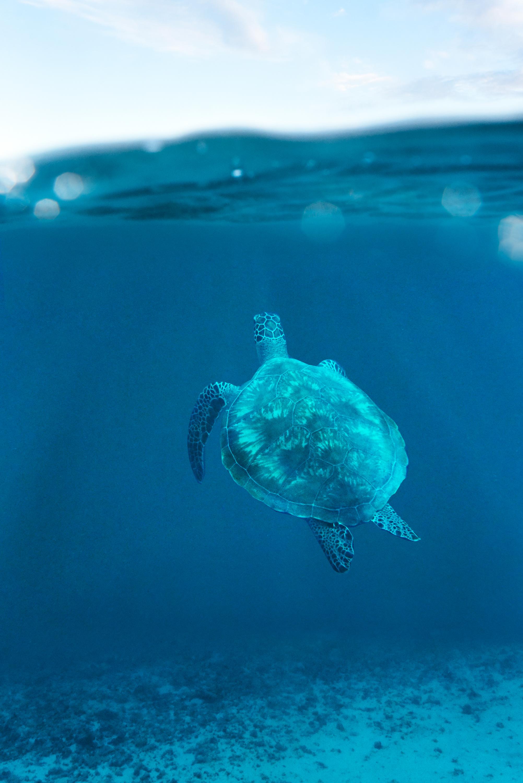 turtle underwater Maldives