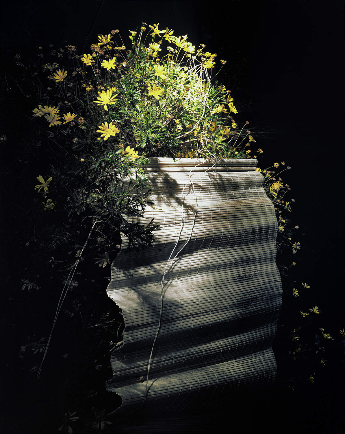 Daisy Shade , 2012 Archival pigment print 40 x 32 inches   ————