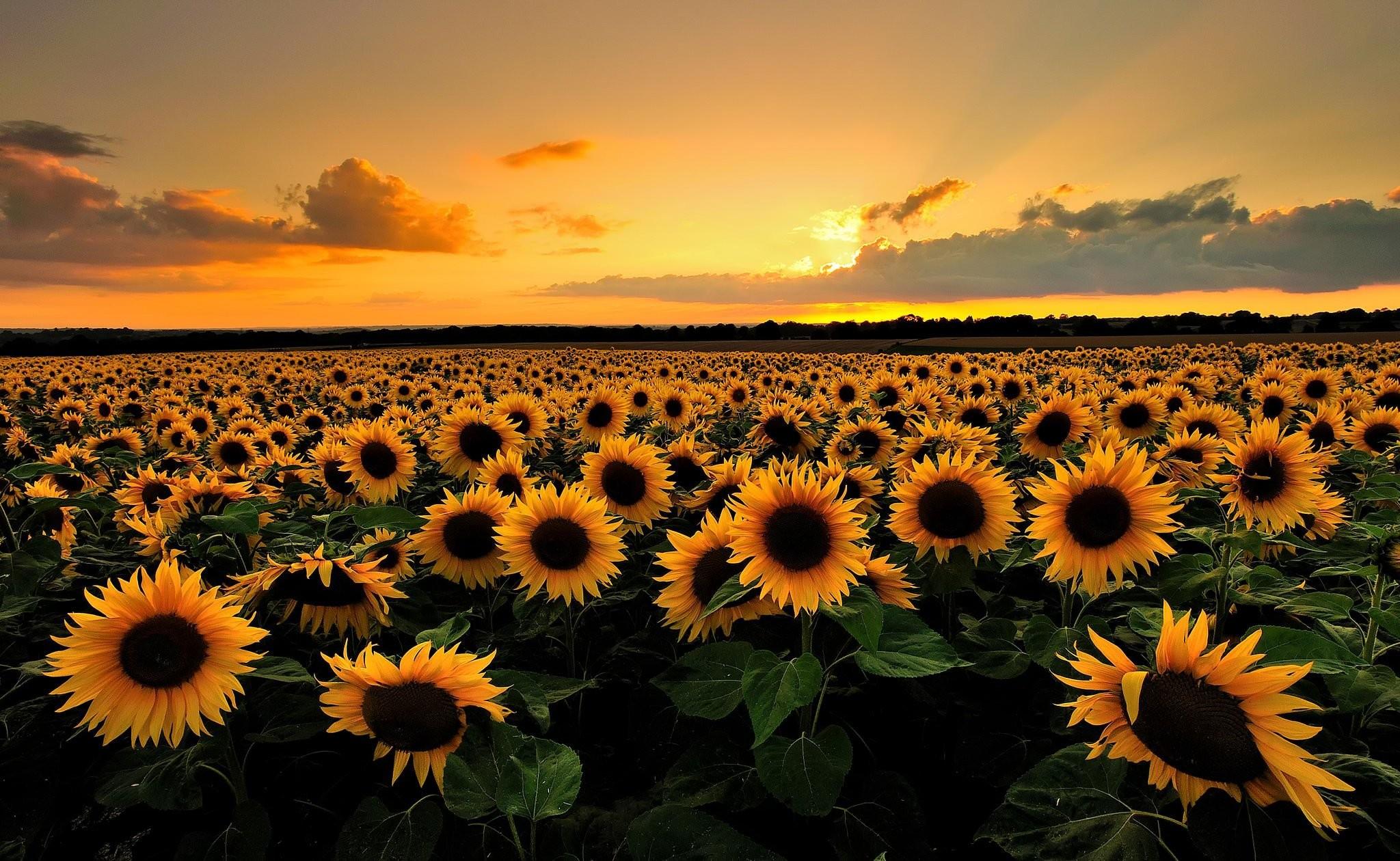 vunature.com-flowers-sunflowers-clouds-sunset-field-nature-wallpaper-desktop-full-size.jpg