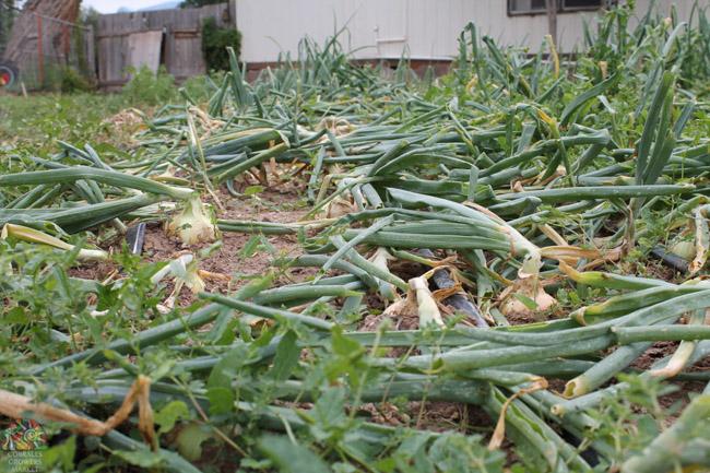 2015.07.17 Corrales Classic Farms-27.jpg